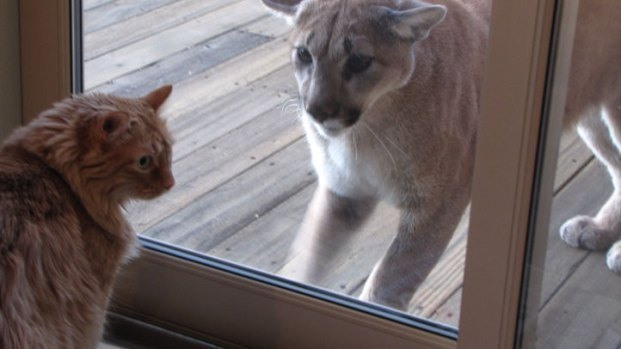 Cat Stares Down Mountain Lion