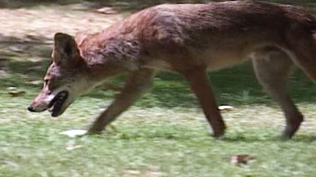 [LA] Laguna Woods Approves Plan to Shoot Coyotes