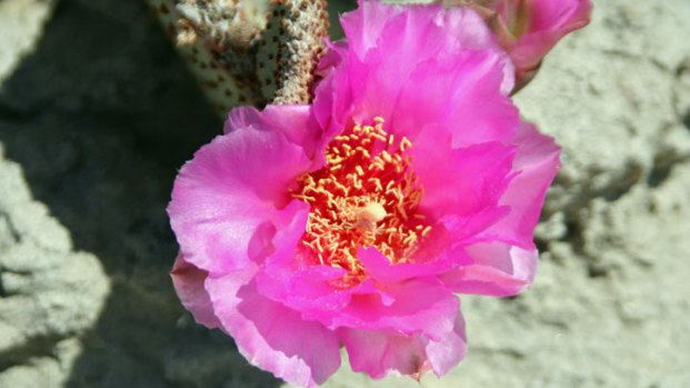 Desert Flowers in Full Bloom