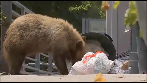 [LA] Raw Video: Bear Munches on Trash in Altadena Backyard