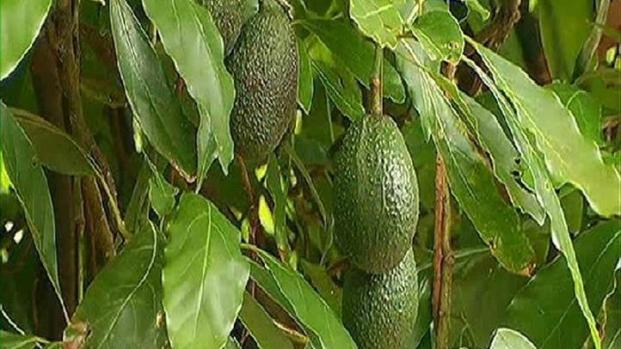 [DGO] Avocado Thieves Stealing Livelihood