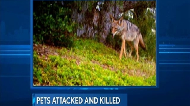 [DGO] Coyotes Stalk Pets in Solana Beach
