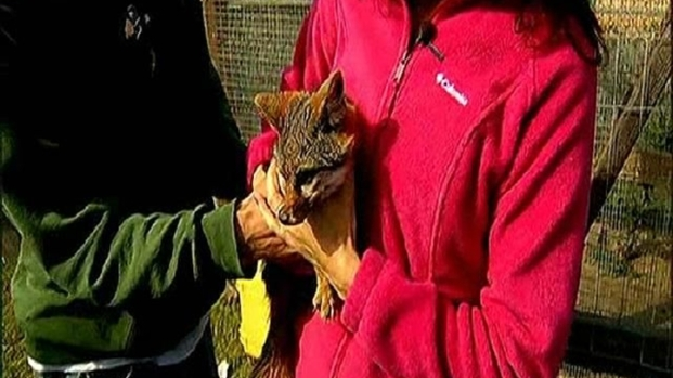 [DGO] San Clemente Island's Furry Ambassador