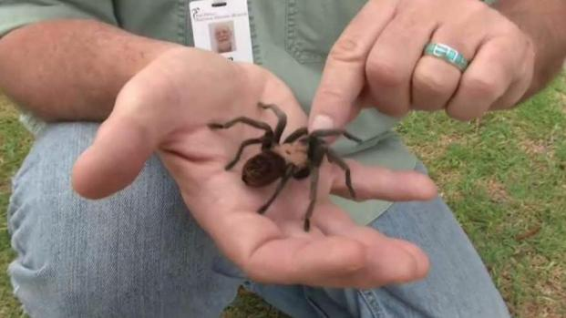 [DGO] More Tarantulas Found in Local Homes