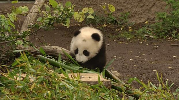 [DGO] Panda Cub Makes Outdoor Debut