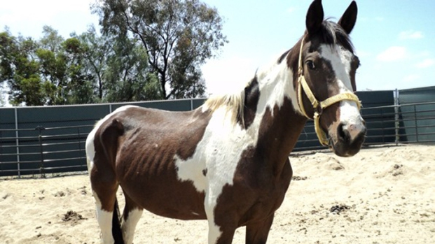 [DGO] 10 Undernourished Horses Seized by Animal Services