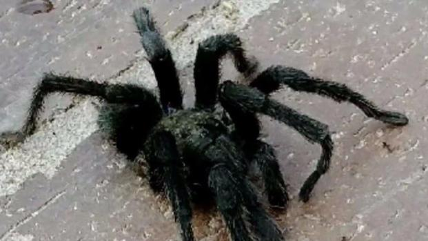 [DGO] Tarantulas Invade Homes in Scripps Ranch