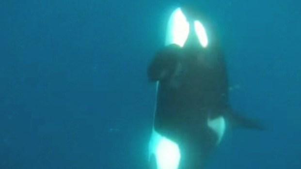 [DGO] Orcas Swim Near San Diego