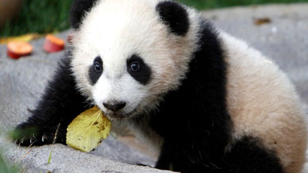 Panda Cub Celebrates 2nd Birthday