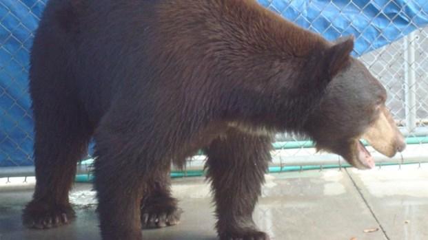 "[LA] ""Meatball"" the Bear Captured"