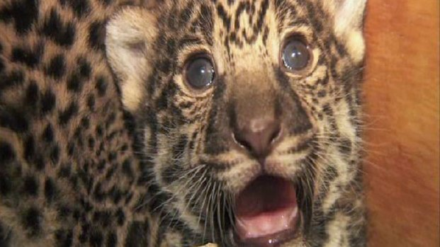 San Diego Zoo's Jaguar Cubs in Images