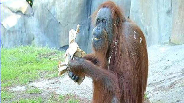 Orangutan 50th Birthday San Diego Zoo Euthaniz...