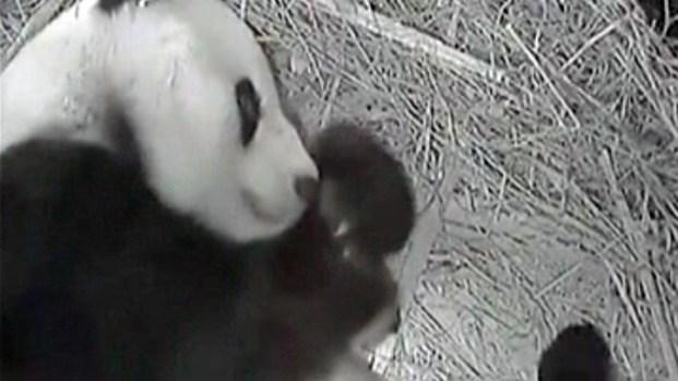 [DGO] Panda Cub Debuts in Den