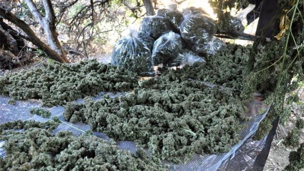 Phone Seized in Pot Raid Leads to Network of Growers - NBC 7 San Diego