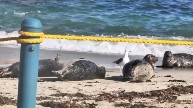 [DGO] Pupping Season Brings Rope Back to La Jolla