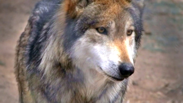 [NEWSC] Gray Wolves Returning to the Wild