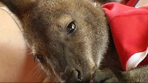 [DFW] Wall-E the Pet Wallaby's Day Out