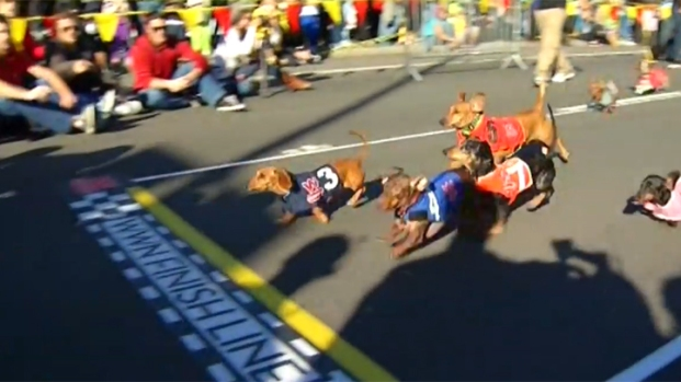 [DGO] WATCH: Wiener Dog Races