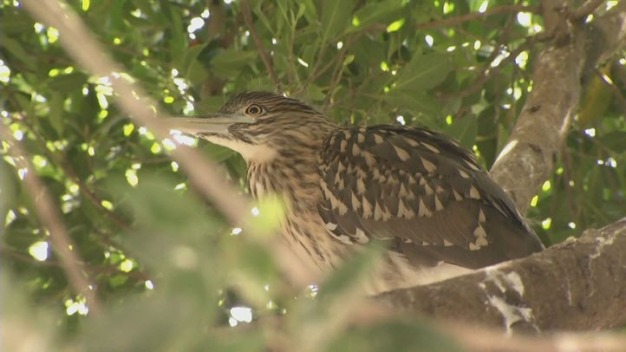 Bird Colony Forced Out By Development Rescued