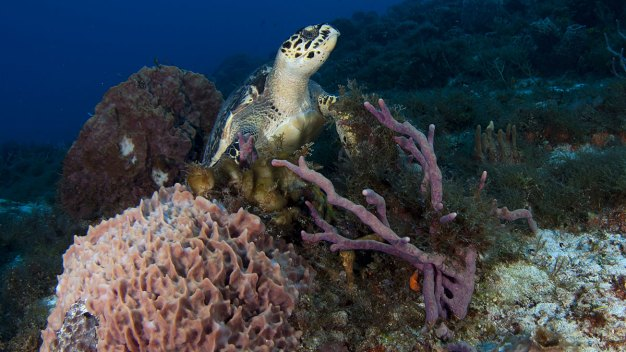 Coral Reef Insurance May Be a Sea Change for Conservation