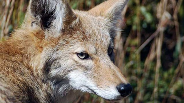 Coyote Trapped, Euthanized After Biting Boy at Irvine Park