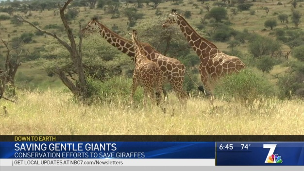 Conservation Efforts to Save Giraffes