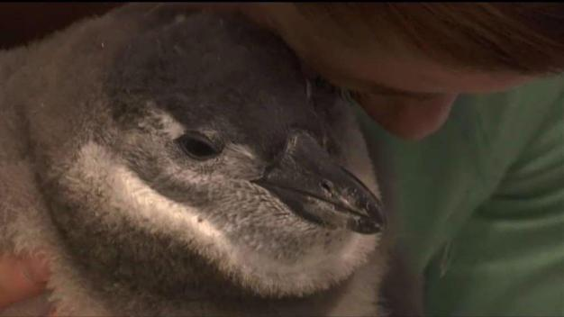 Down to Earth With Dagmar: Saving the African Penguins