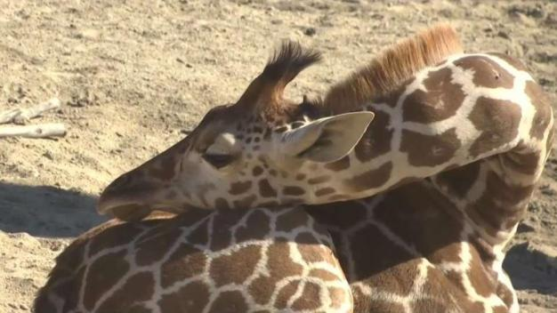 Down to Earth with Dagmar: Giraffes in Danger of Extiction