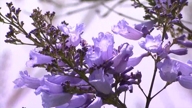Sign of Spring in San Diego: Jacaranda Trees Are in Bloom