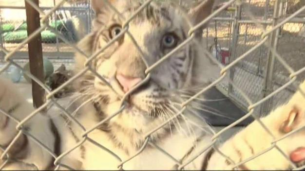 Neglected White Tiger Cub Finds Home in Alpine