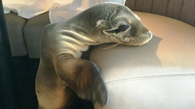Sea Lion Found in Booth at Restaurant