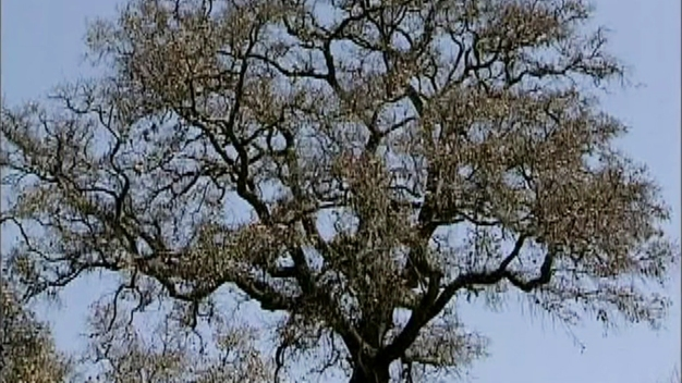 About San Diego: The Poway Oak