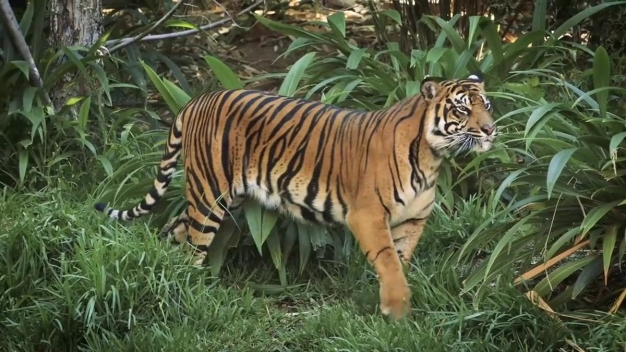 Sumatran Tigers Explore Their New Habitat