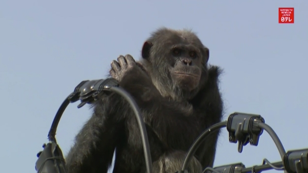 Chimp Leads Police on Chase Through Japanese Town