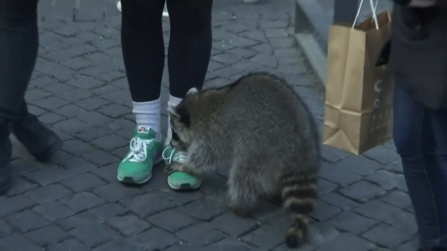 'Drunk' Raccoon Stumbles Through Christmas Market in Germany
