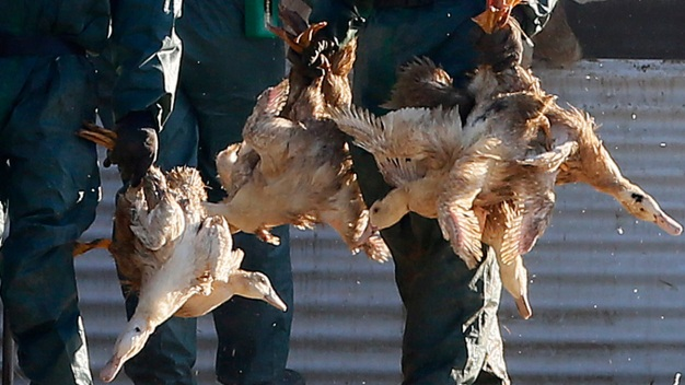 WHO on 'High-Alert' Over New Outbreaks of Bird Flu