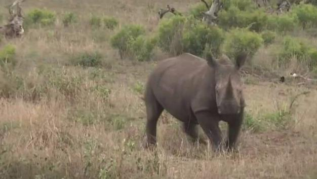 Preview: The Rhino Extinction Crisis