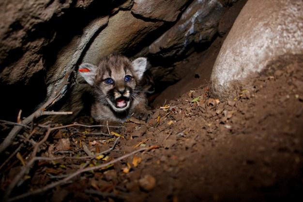 4 Mountain Lion Kittens Pack a Lot of Cuteness in SoCal Den