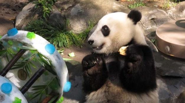 A Panda's Terrible Twos