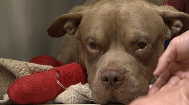 """[LA] """"Prognosis Is Good"""" for Pup Injured by Fireworks"""