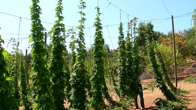 Thriving Beer Industry Spurs Growth of Hop Farms
