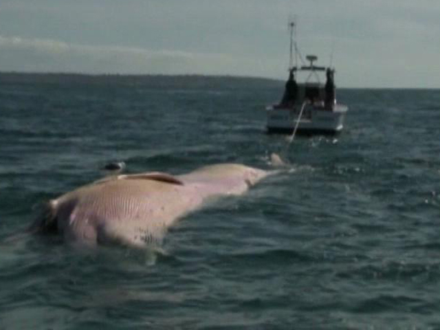 Whale Carcass Causes a Stink