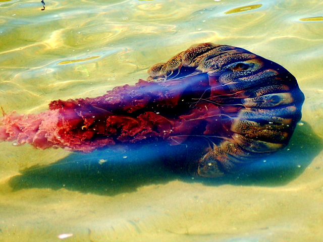 Images: Giant Jellyfish Spotted in San Diego Waters