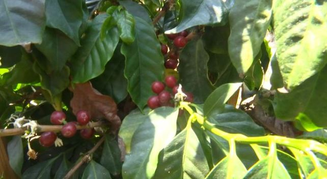 Coffee Considered New Cash Crop in San Diego
