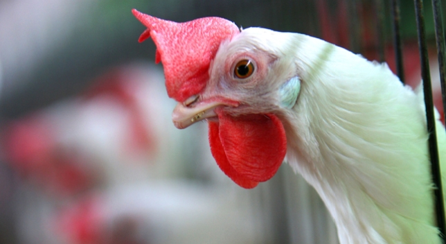 Proposition 12 Would Make Egg-Laying Hens Cage-Free