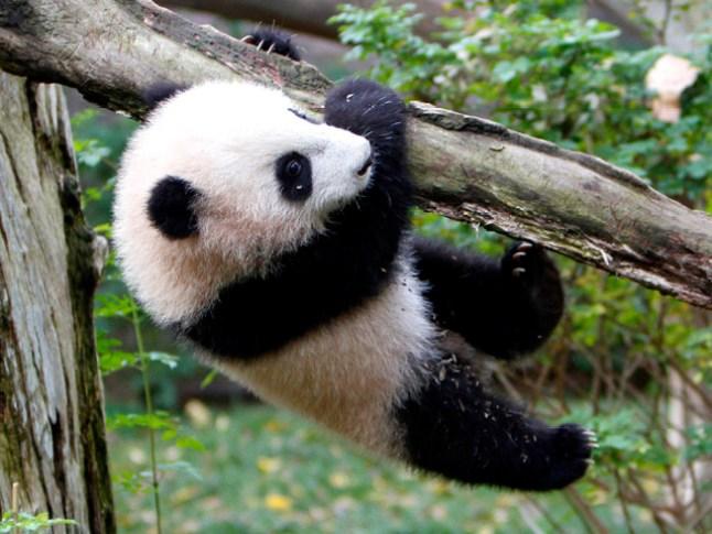 Giant Pandas to Leave San Diego Zoo