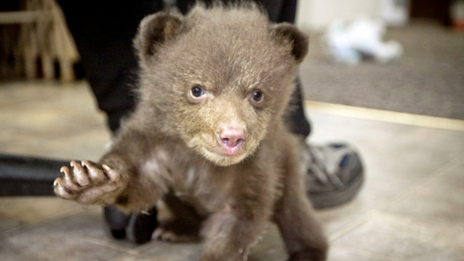 "Mystery of Rescued Bear Cub ""Tahoe"" May Be Solved"
