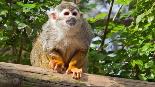 Banana Sam, San Francisco Zoo Squirrel Monkey, Dies