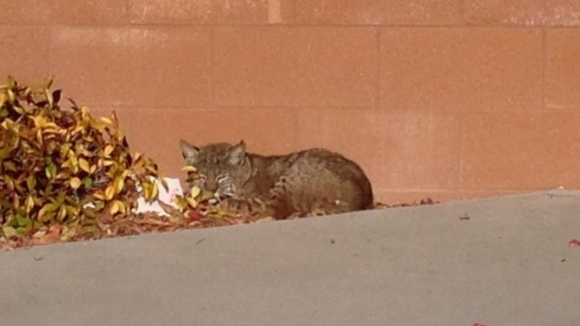 Teacher Meets Bobcat Face-to-Face on School Campus