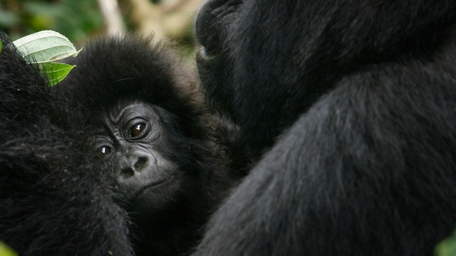 Eastern gorilla classified as 'critically endangered'